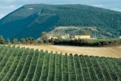 Vigne del Rosso Conero
